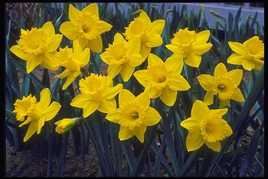 Нарцисс - символ Уэльса