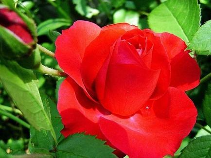 Красная роза - цветок Англии