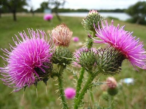 Чертополох - цветок Шотландии