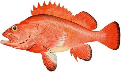 Морской окунь отлично подойдет для рыбных палочек